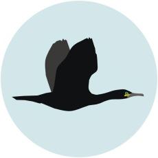 Cormoran monudo 2